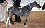 Miniature Horse Stallion on HorseYard.com.au (thumbnail)
