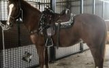 Anglo Arab on HorseYard.com.au (thumbnail)