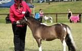 AMPS/APSB Buckskin - in foal - must go south/west on HorseYard.com.au (thumbnail)