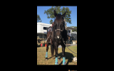 Black ASH Gelding on HorseYard.com.au (thumbnail)