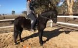 Stunning Black Pony on HorseYard.com.au (thumbnail)