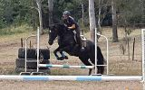 Gentle, responsive registered Percheron Warmblood Gelding  on HorseYard.com.au (thumbnail)
