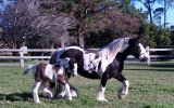 UK Imported Gypsy Cob Vanner Mare on HorseYard.com.au (thumbnail)