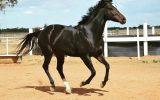 Purrealist x Commands x Encosta Mare on HorseYard.com.au (thumbnail)