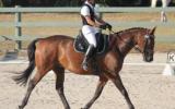 Sweet Natured Warmblood Gelding on HorseYard.com.au (thumbnail)