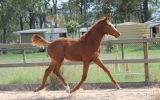 Trying to find - Lauries As 2015 gelding on HorseYard.com.au (thumbnail)
