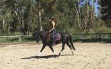 Mirinda Midnight Mink - ARP Mare  on HorseYard.com.au (thumbnail)