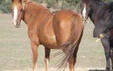 Talina Flirtation on HorseYard.com.au (thumbnail)