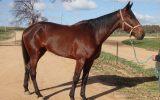Mighty Jack - recently retired Standardbred on HorseYard.com.au (thumbnail)