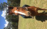 ASH gelding - 9yr old on HorseYard.com.au (thumbnail)