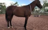 For Sale: WILLOW on HorseYard.com.au (thumbnail)