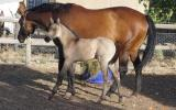 2015 Recycled Genetics filly on HorseYard.com.au (thumbnail)