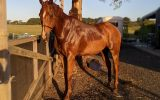 Advanced dressage schoolmaster  on HorseYard.com.au (thumbnail)