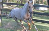 Expression of Interest in Pally Roan QH Colt by Runnfagold on HorseYard.com.au (thumbnail)