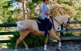 7yo Palomino Stock Horse  on HorseYard.com.au (thumbnail)