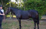Newcomer Child's Galloway on HorseYard.com.au (thumbnail)