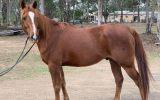 Project Arabian x gelding on HorseYard.com.au (thumbnail)