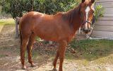 2 x mares on HorseYard.com.au (thumbnail)
