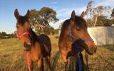 Loving home wanted on HorseYard.com.au (thumbnail)