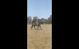 *SOLD*  15.1hh ALLROUNDER- needs a new home ASAP! on HorseYard.com.au (thumbnail)