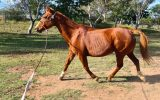 Quiet Sweet Mare on HorseYard.com.au (thumbnail)