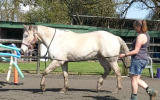 SOLD Sweet 15hh Appy Project - Video available on HorseYard.com.au (thumbnail)