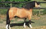 Welsh Mountain Colt on HorseYard.com.au (thumbnail)