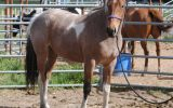 Beautiful PHHA Registered Paint Mare (SOLD PENDING PAYMENT) on HorseYard.com.au (thumbnail)