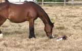 Welsh C Broodmare on HorseYard.com.au (thumbnail)
