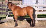 Welsh B Gelding Pony on HorseYard.com.au (thumbnail)