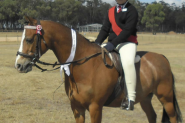 13 Welsh 18year old gelding on HorseYard.com.au