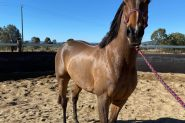 9 years OTT Thoroughbred Gelding on HorseYard.com.au