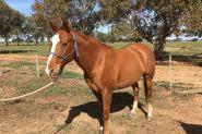 Good Prophecy mare - Q-91314 on HorseYard.com.au