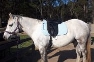 Waler gelding on HorseYard.com.au