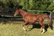 Quality Arabian Gelding  on HorseYard.com.au