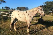 Leopard Appaloosa  on HorseYard.com.au
