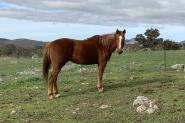 Chestnut TB mare on HorseYard.com.au