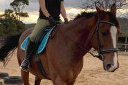 Warmblood Gelding on HorseYard.com.au