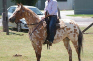 REGISTERED RED DUN LEOPARD APPALOOSA GELDING on HorseYard.com.au