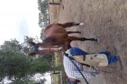 7yo TB gelding on HorseYard.com.au