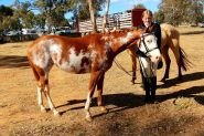 Registered Paint Filly on HorseYard.com.au