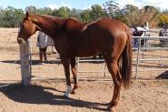 QUIET allrounder  on HorseYard.com.au