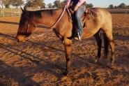 Lovely natured roan QH gelding on HorseYard.com.au