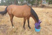 15.1 extremely quiet gelding on HorseYard.com.au