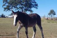 Clydie X on HorseYard.com.au