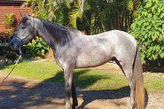 Anglo Arab gelding  on HorseYard.com.au