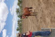 Bay gelding  on HorseYard.com.au