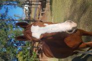 Purebred Arab Gelding.  on HorseYard.com.au