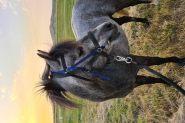 12hh Reg. Australian Pony on HorseYard.com.au