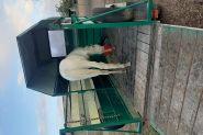 Appy x pinto  on HorseYard.com.au